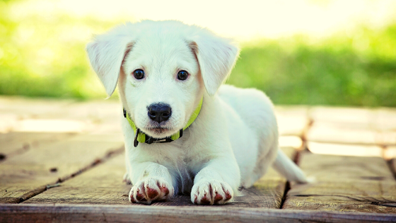 how to train your puppy to lay down on command